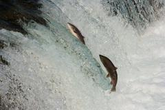 Salmon in the annual upstream migration Stock Photos