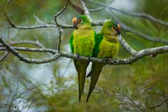 Peach-fronted parakeets, aratinga aurea, brazil Stock Photos