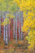 a forest of aspen trees with white bark - stock photo