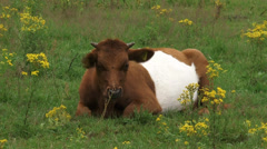 Ruminant Dutch Belted cattle, Lakenvelder between Ragwort Stock Footage