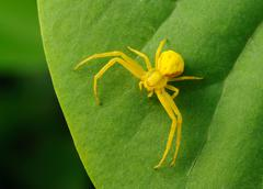 Yellow spider on a green leaf. Stock Photos