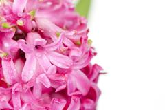 Pink hyacinth isolated on white Stock Photos