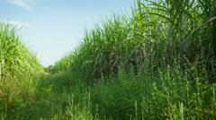 Sugarcane fields. thailand, sukhothai Stock Footage