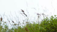 Stock Video Footage of meadow grass sway in the wind. highland slope