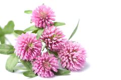 Pink clover flowers isolated Stock Photos