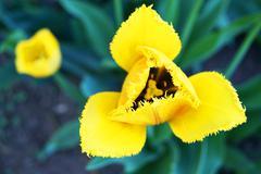 fringed yellow tulip - stock photo