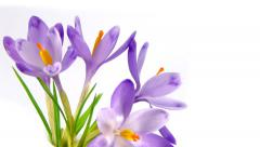 Timelapse blooming crocuses Stock Footage