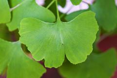 Gingko biloba leaf Stock Photos