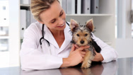 Stock Video Footage of Vet checking a yorkshire terrier