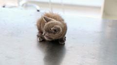 Grey kitten sitting on vets table Stock Footage