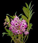 nobile orchid isolated on black background - stock photo