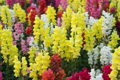 snap dragon (antirrhinum majus) blooming in garden - stock photo