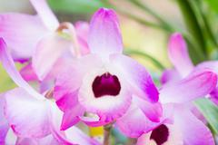 nobile orchid - stock photo