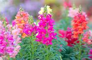 Stock Photo of snap dragon (antirrhinum majus) blooming in garden