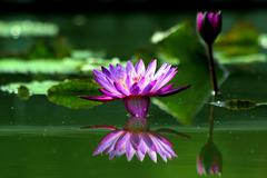 Stock Photo of lotus flower