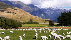 New zealand sheep station Stock Footage