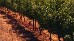 Wine grapes sunset landscape Stock Footage