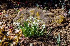 snowdrop bloom in springtime - stock photo