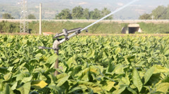 Tobacco Field - stock footage