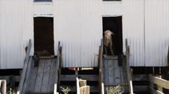 Sheep shearing shed-2 Stock Footage