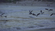 Stock Video Footage of Flock of seagulls diving for food over sea