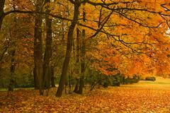 golden maple trees in the park - stock photo