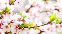 pink cherry flowers blooming in springtime. 4K. FULL HD, 4096x2304 - stock footage