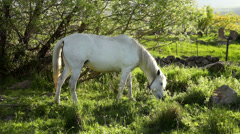 White horse relaxing and eating grass at late evening Stock Footage