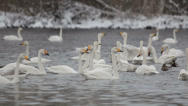 Stock Video Footage of swans