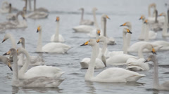 swans 008 - stock footage