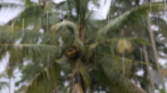 Rain drops in tropical rainy season downpour with coconut palm background - stock footage