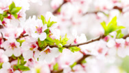 Stock Video Footage of pink cherry flowers blooming in springtime. 4K. FULL HD, 4096x2304