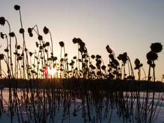 Dried sunflowers at sunset. Time Lapse . 4x3 Stock Footage