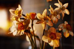 spring flowers daffodils in the setting sunlight - stock photo