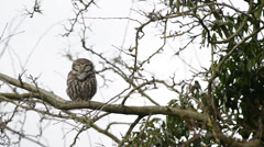 Stock Video Footage of Little Owl Sound