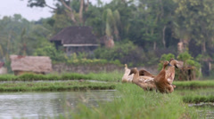 Ducks perched on edge of rice paddy Stock Footage
