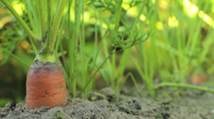 Farmer Picking up Carrots CU Stock Footage