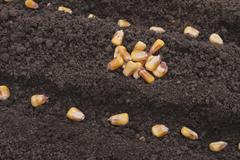 corn seeds planted in the ground in the garden. - stock photo