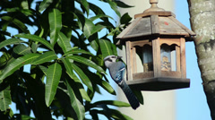 Blue jay (Cyanocitta cristata) eating on a wooden hanging bird feeder Stock Footage