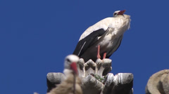 WHITE STORKS  (CICONIA CICONIA) ON PLASENCIA CATHEDRAL, SPAIN  #3 Stock Footage