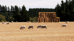 Nz sheep and haystack Stock Footage