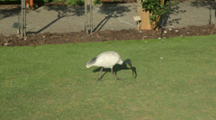 Common ibis and pergola, sydney botanical gardens, australia Stock Footage