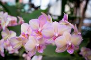 Stock Photo of pink orchid flowers
