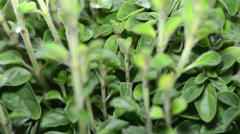 Oregano plant (seamless loopable) Stock Footage