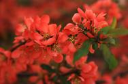 Stock Photo of japanese flowering quince branches.