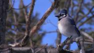 Stock Video Footage of Blue Jay Perched in Tree