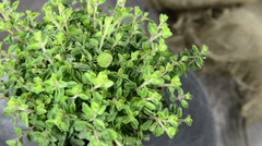 Small oregano plant (loopable) Stock Footage