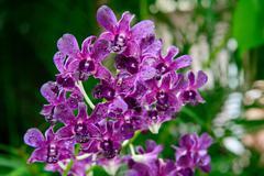 rhynchostylis gigantea var purple orchids , genus is rhynchostylis - stock photo