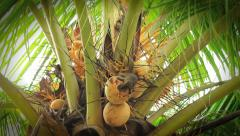 A squirrel is lost in the tropics so breaks into a coconut Stock Footage