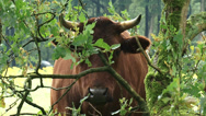 Stock Video Footage of Dutch Belted cattle, Lakenvelder peeping through branches